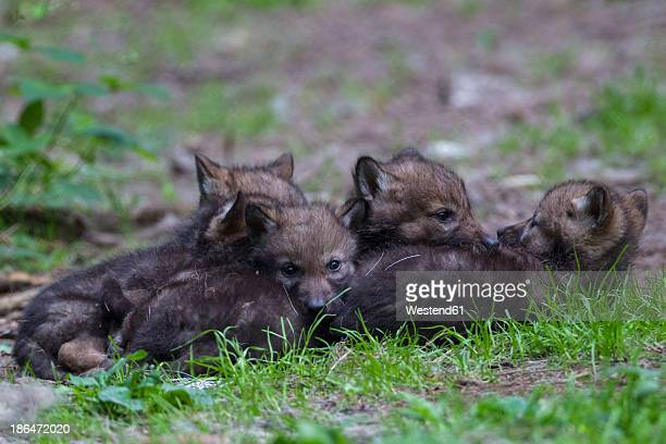 Germany, Bavaria, Gray wolf pups in forest