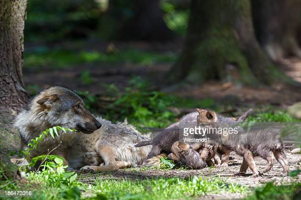 Germany, Bavaria, Gray wolf with her pups
