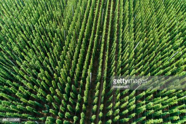 germany, bavaria, hop field, aerial view - crop plant - fotografias e filmes do acervo