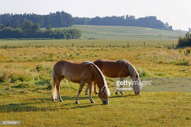 germany, bavaria, horses on paddock near rins - paddock stock photos and pictures