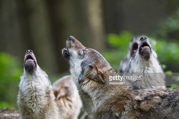 Germany, Bavaria, Howling gray wolfs