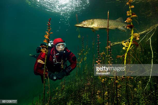germany, bavaria, lake echinger weiher, diver and pike - pike fish stock pictures, royalty-free photos & images