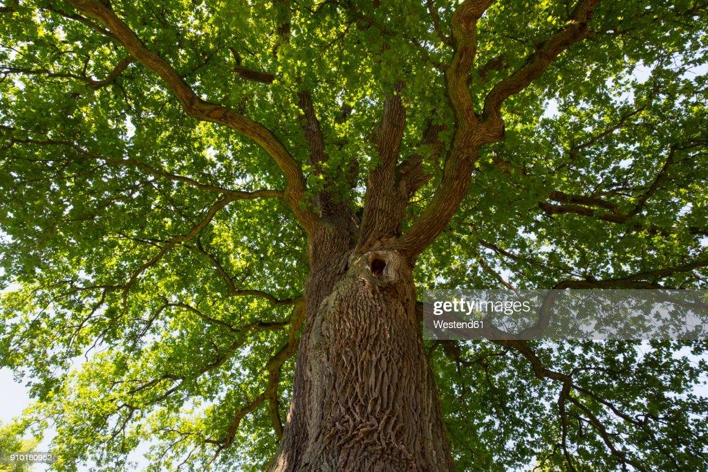 Germany, Bavaria, Lower Franconia, Pedunculate Oak, Quercus robur : Stock Photo