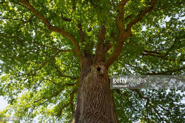 germany, bavaria, lower franconia, pedunculate oak, quercus robur - oak tree stock pictures, royalty-free photos & images