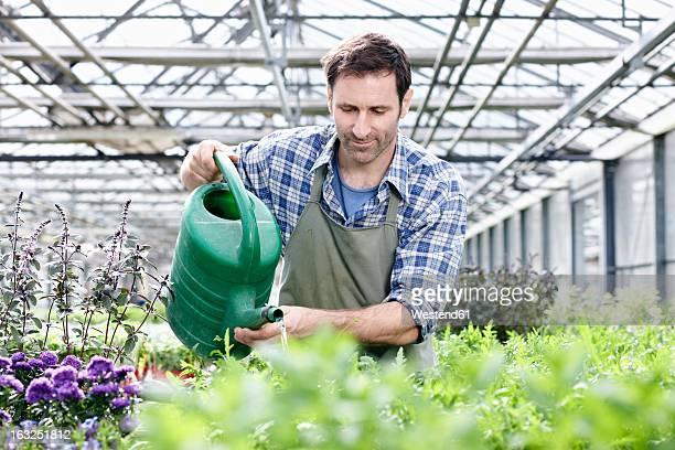 Germany, Bavaria, Munich, Mature man in greenhouse watering rocket plant