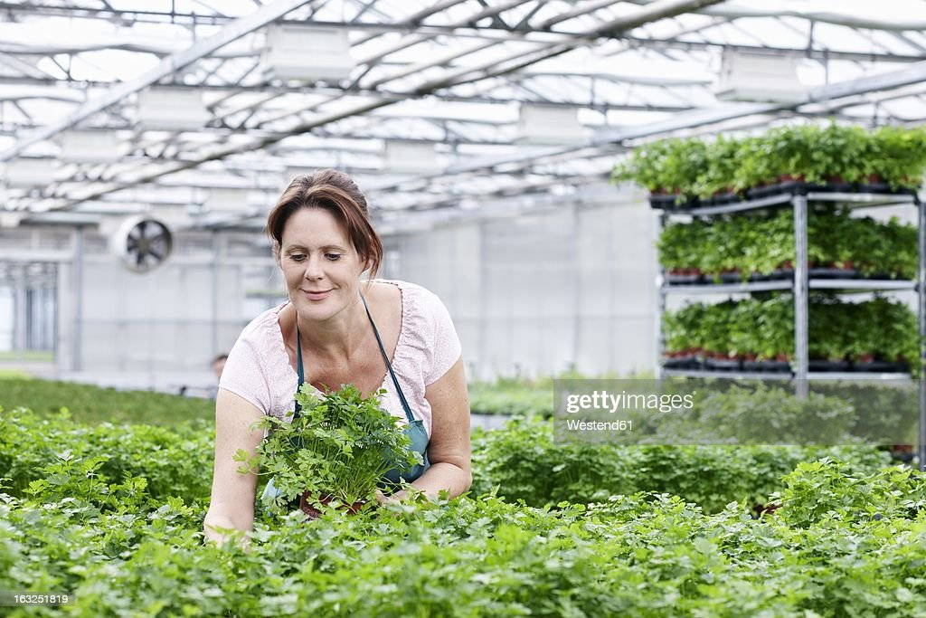 Germany, Bavaria, Munich, Mature woman in greenhouse between parsley plants : Stock Photo