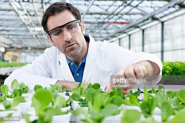 Germany, Bavaria, Munich, Scientist in greenhouse examining corn salad plants