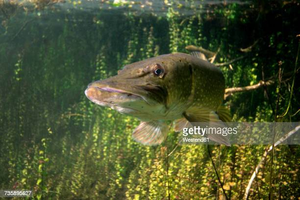 germany, bavaria, northern pike in echinger weiher - pike fish stock pictures, royalty-free photos & images