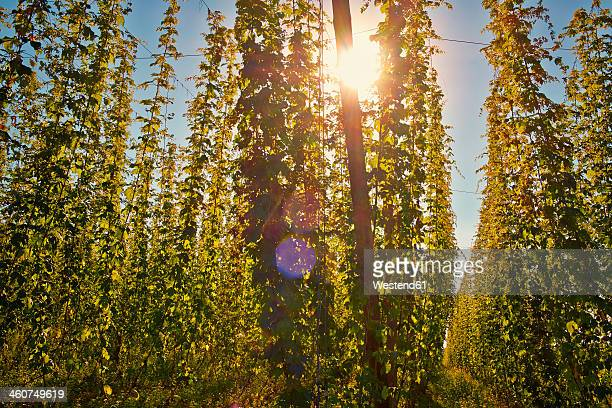 Germany, Bavaria, Nurnberg, Hops plantation