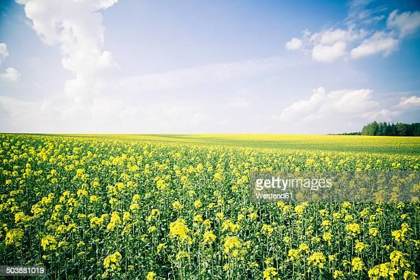 Germany, Bavaria, Rape field, Brassica Napus