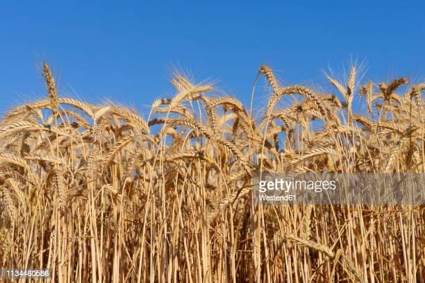 Germany, Bavaria, Rye field against blue sky