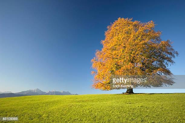 Germany, Bavaria, Single beech tree (Fagus sylvatica)