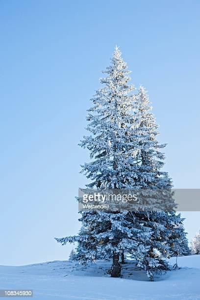 Germany, Bavaria, Snow covered fir tree