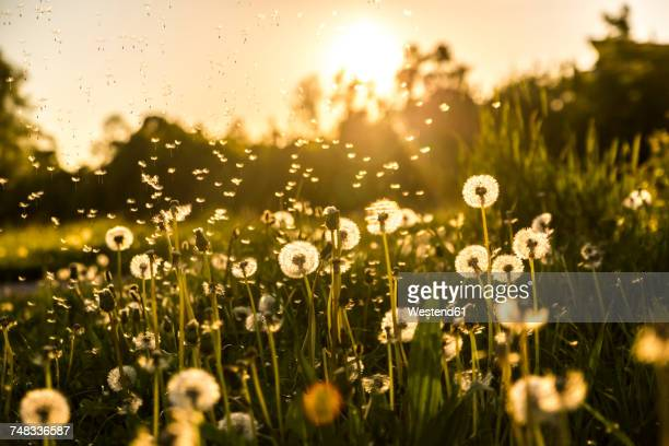 Germany, Bavaria, Summer meadow in evening light