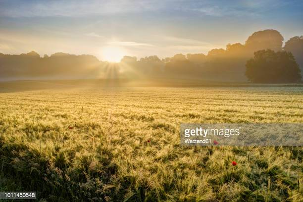 germany, bavaria, swabia, tussenhausen, grain field and morning fog at sunrise, augsburg western woods nature park - feld stock-fotos und bilder