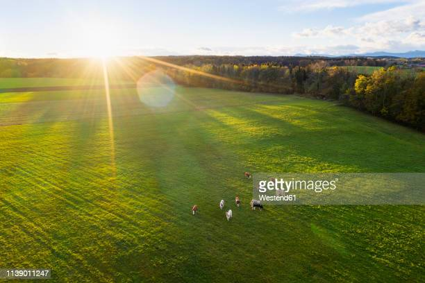 germany, bavaria, thanning near egling, cows on pasture at sunrise, drone view - pasture stock pictures, royalty-free photos & images