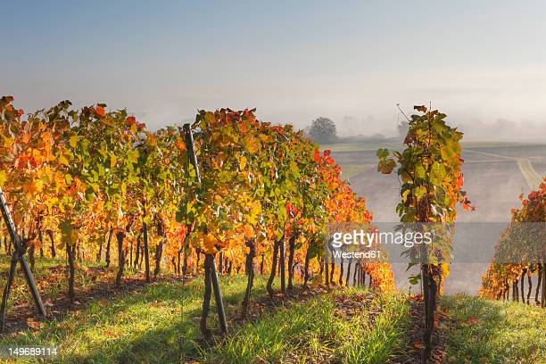 Germany, Bavaria, Theilheimer Mainleite near Waigolshausen, View of vineyard