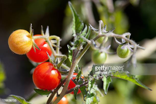 Germany, Bavaria, Tomatoes on branch