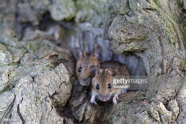 germany, bavaria, two yellow-necked mouse on rock, close up - two animals stock pictures, royalty-free photos & images