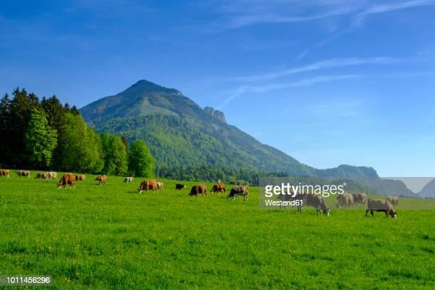 germany, bavaria, upper bavaria, chiemgau, achen valley, hochplatte, cows on meadow near schleching - viehweide stock-fotos und bilder