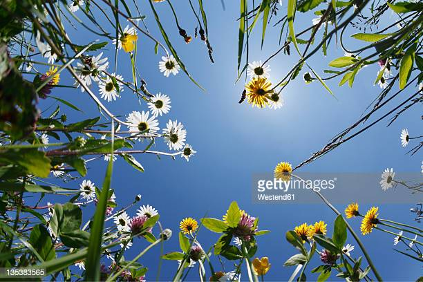 germany, bavaria, upper bavaria, irschenberg, upward view of flower meadow, close up - wiese stock-fotos und bilder