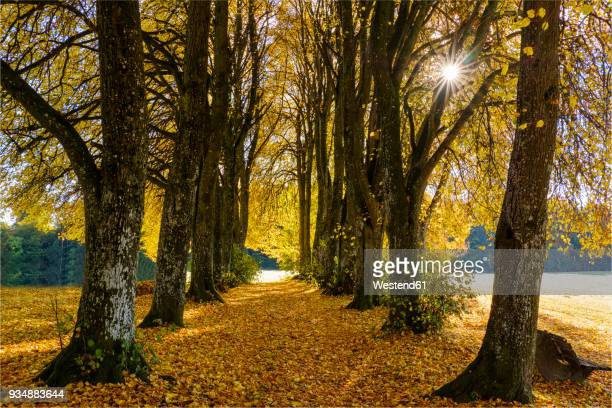 Germany, Bavaria, Upper Bavaria, Kleindingharting, Linden tree alley in autumn