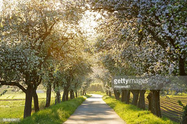 Germany, Bavaria, Upper Franconia, bikeway, avenue with blooming apple trees