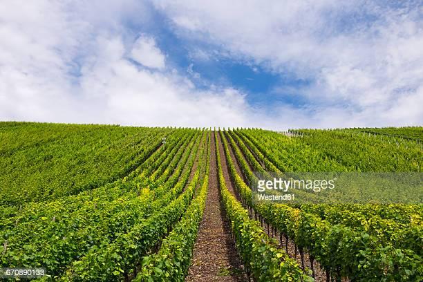 Germany, Bavaria, Upper Franconia, vine yard Escherndorfer Lump near Vollkach