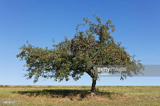 germany, bavaria, view of apple tree - appelboom stockfoto's en -beelden