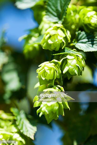 Germany, Bavaria, View of hop