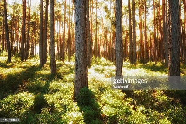 Germany, Bavaria, View of pine forest