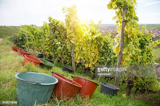 Germany, Bavaria, Volkach, grape harvest