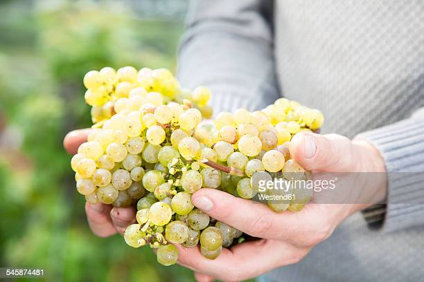 Germany, Bavaria, Volkach, green grapes in hand
