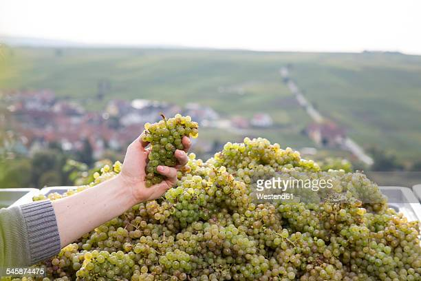 Germany, Bavaria, Volkach, hand in box with harvested grapes