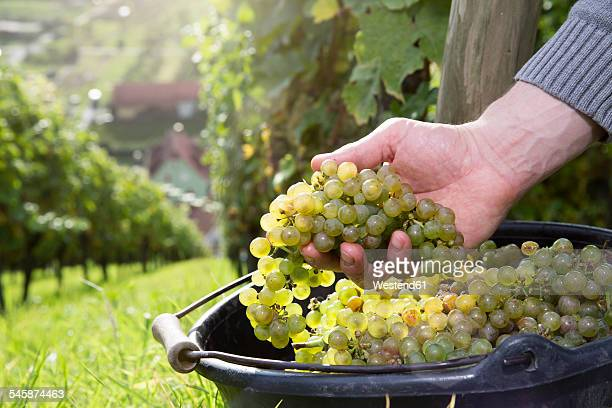 Germany, Bavaria, Volkach, hand in bucket with harvested grapes