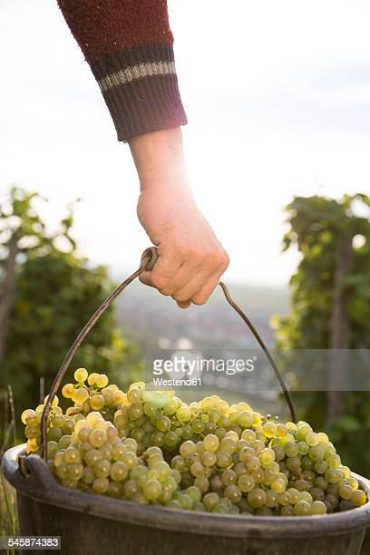 germany, bavaria, volkach, man carrying bucket with harvested grapes - one mid adult man only stock pictures, royalty-free photos & images