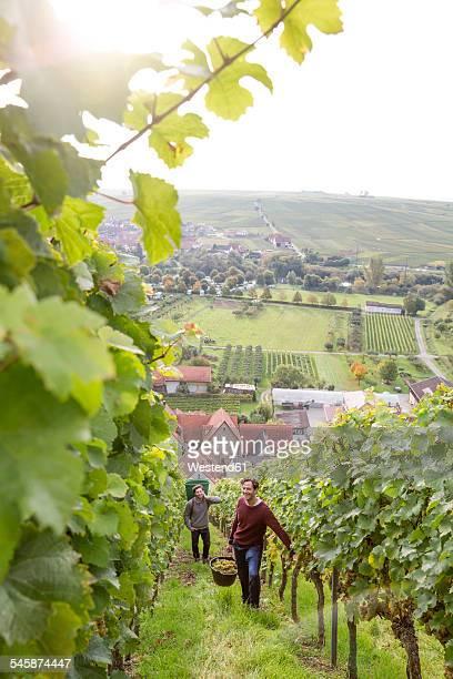 Germany, Bavaria, Volkach, two men harvesting grapes in vineyard