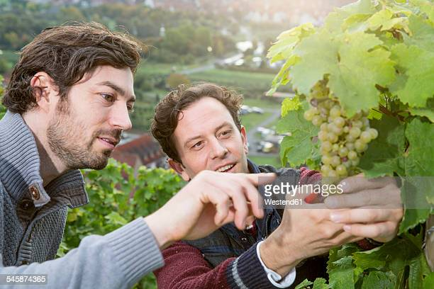 Germany, Bavaria, Volkach, two winegrowers testing grapes