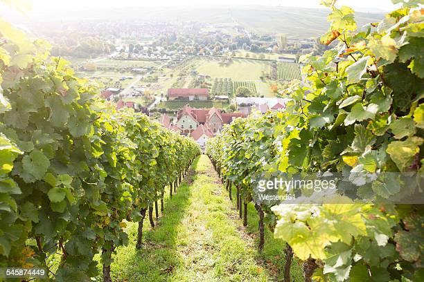 Germany, Bavaria, Volkach, vineyard