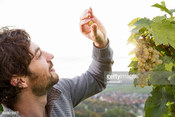 germany, bavaria, volkach, winegrower testing grapes - white grape stock photos and pictures