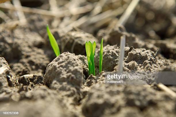 Germany, Bavaria, Wheat seedling growing on field