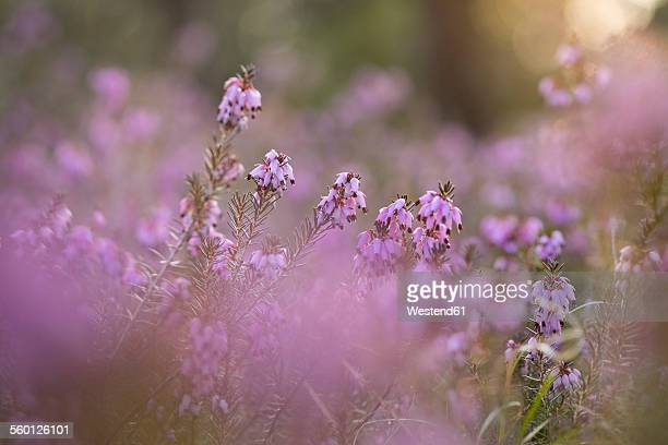 Germany, Bavaria, winter flowering heather, Erica carnea