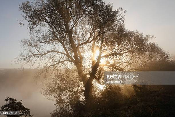 Germany, Bavaria, Wipfeld, View of willow tree in fog near Main river