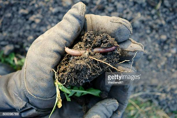 germany, bavaria, wuerzburg, earthworm, organic gardening - worm stock photos and pictures