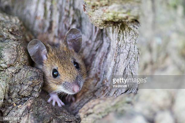 Germany, Bavaria, Yellow-necked Mouse on rock, close up