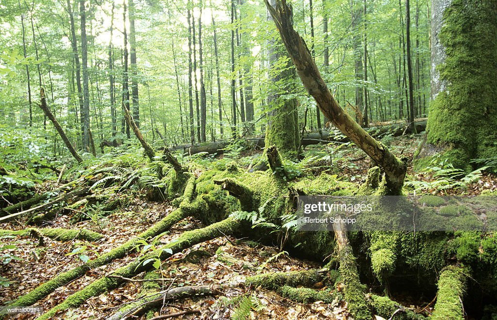 Germany, Bavarian forest, National park : Foto de stock