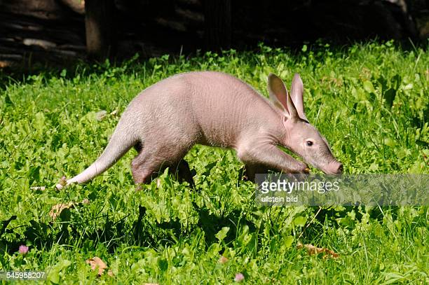 Germany Berlin Charlottenburg - aardvark born on in the Berlin zoo -