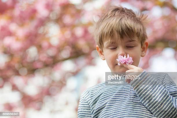 Germany, Berlin, Cherry blossom, Little boy smelling flowers
