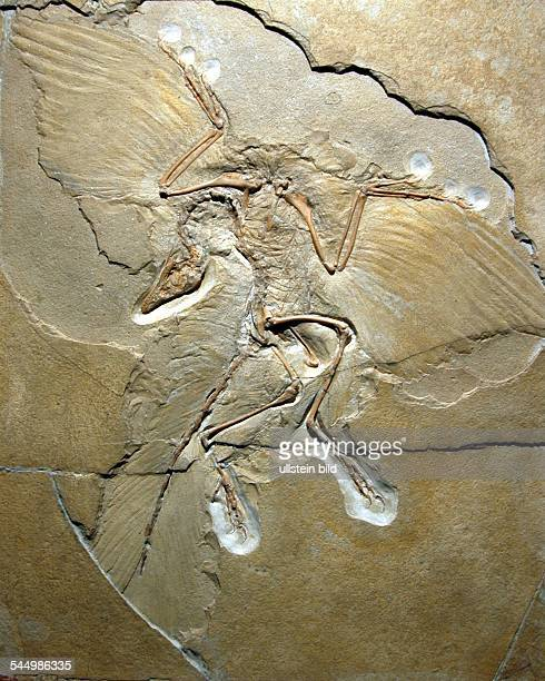 Museum of Natural History fossil Archaeopteryx lithographica
