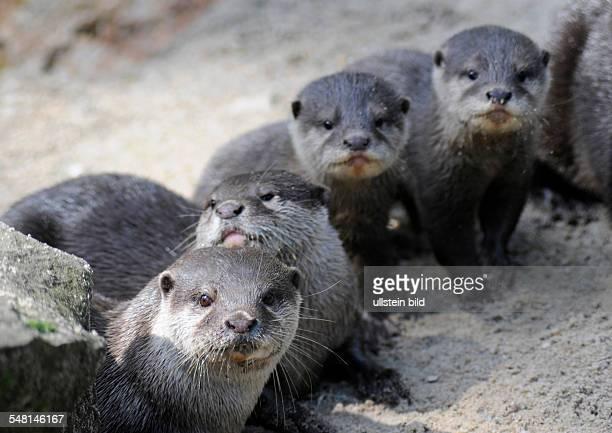 Germany Berlin Oriental Smallclawed Otter babies